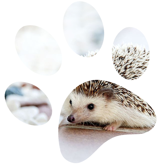 Hedgehog in paw print