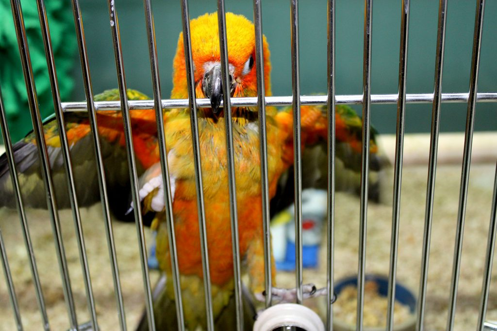Pet Bird for Adoption