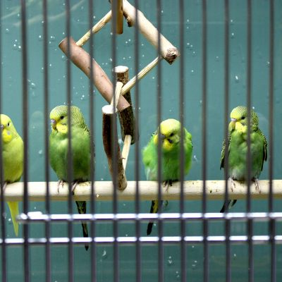 Budgies for Adoption