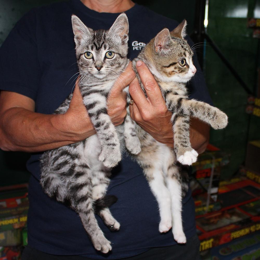 Gardel Kittens